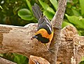 Hooded Oriole with grape jelly.jpg