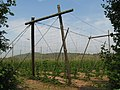 Hop field near Longley Green 2008 - geograph.org.uk - 813175.jpg
