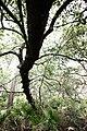 HopkinsPrairiePerimiterIlexOpacaArenicola.jpg