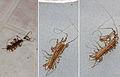 House centipedes.jpg
