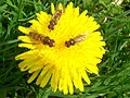 Hoverflies on dandelion.jpg