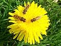 Hoverflies on dandelion.jpg