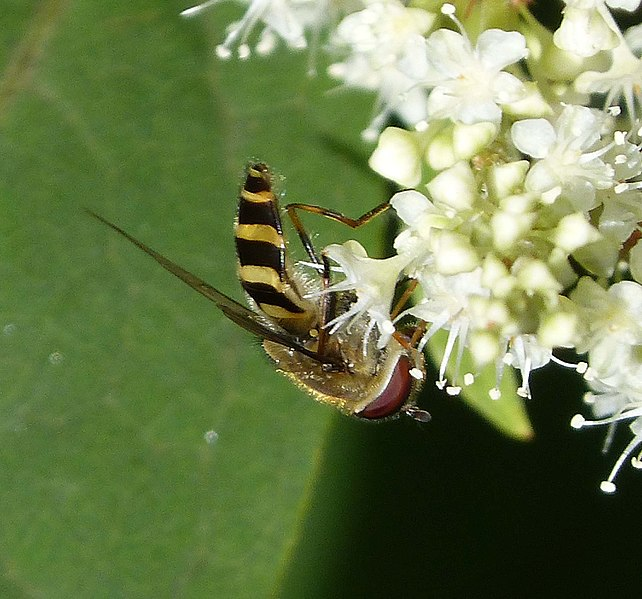 File:Hoverfly - Flickr - gailhampshire (10).jpg