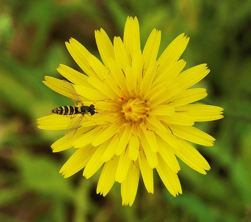 Hoverfly on flower edit.jpg