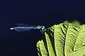 Hufeisen-Azurjungfer Coenagrion puella 9701.jpg