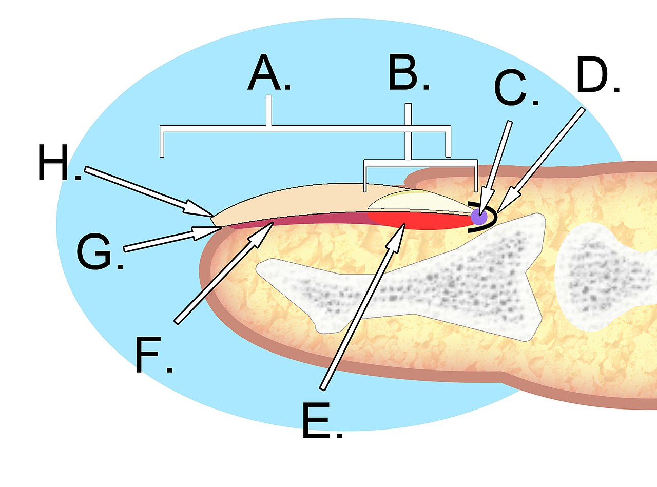 Filehuman Nail Anatomyg Wikimedia Commons