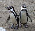 Humboldt-Pinguin Tierpark Hellabrunn-5.jpg