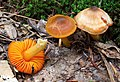 Humidicutis marginata var. olivacea (A.H. Sm. & Hesler) Singer 250274.jpg