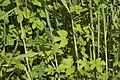 Humulus lupulus (Houblon).jpg