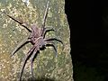 Huntman Spider (Sparassidae) (7843665020).jpg