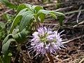 Hydrophyllum capitatum (7939896000).jpg