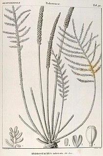 <i>Hydrostachys</i> genus of plants