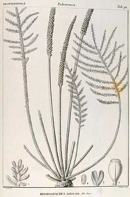 Hydrostachys imbricata, Illustration.