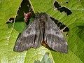 Hylesia nigricans, adult female.jpg