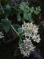 Hylotelephium telephioides - Allegheny Stonecrop.jpg