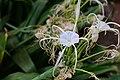 Hymenocallis littoralis in the Weyler's Square 03.jpg