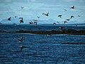 IS - Reykjavik - Höfuðborgarsvæðið - Puffin Island - Puffins - Road Trip - Chordata - Animalia - Fratercula - Alcidae - Charadriiformes - Aves (4889933487).jpg