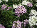 Iberis or Candytuft from lalbagh 2090.JPG