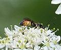 Ichneumonid Wasp (35591999706).jpg