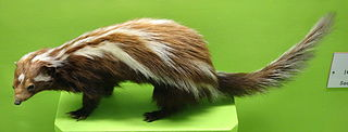 Striped polecat species of mammal