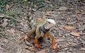 Iguana - panoramio - Ricardo Astrauskas.jpg