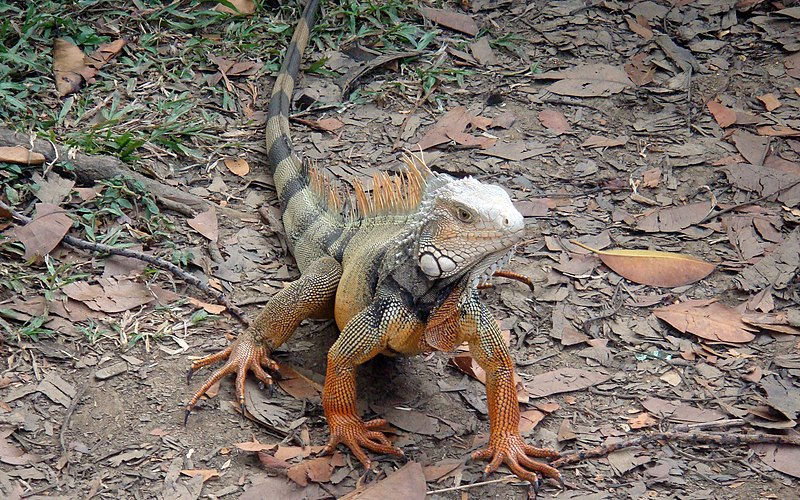 File:Iguana - panoramio - Ricardo Astrauskas.jpg