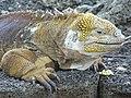 Iguane terrestre des Galapagos.jpg