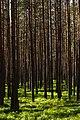 In the forest near Shhuchie lake, Komarovo-1.jpg