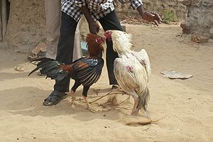 A cockfight in India, with handler.