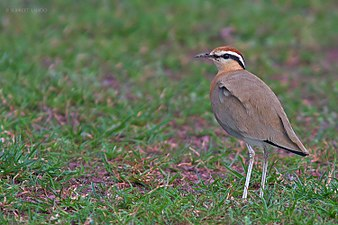 Indian Courser, Rollapadu.jpg