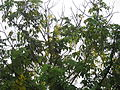 Indian Laburnum - കണിക്കൊന്ന 02.JPG