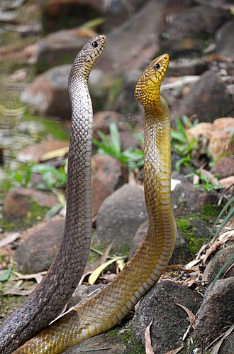 Colubridae - Indian Rat Snake (Grey and Yellow)