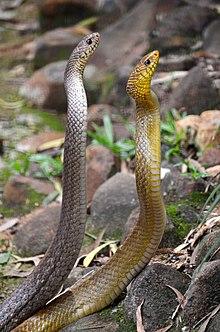 Cambodian snake anus