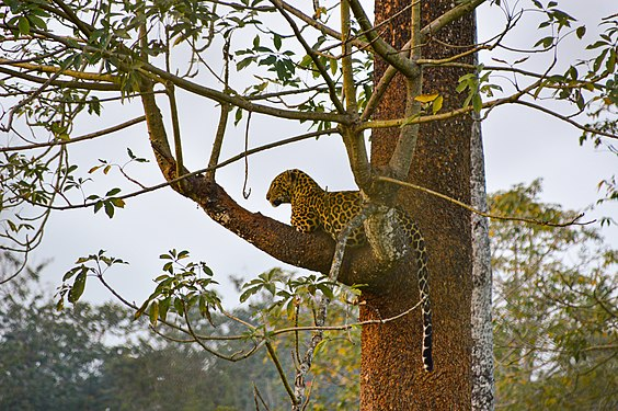 Indian leopard at Rasikbil.jpg