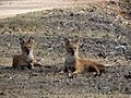 Indian wild dogs ( Dhole ).jpg