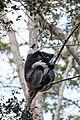 Indri indri 0001.jpg