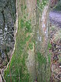 Inosculated ash and hawthorn.JPG