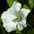 Insect Hoverfly With Flower.jpg