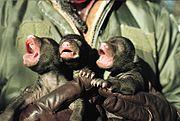 Pasgeboren jongen van de Amerikaanse zwarte beer (Ursus americanus) worden onderzocht