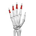 Intermediate phalanges of the hand (left hand) 02 dorsal view.png