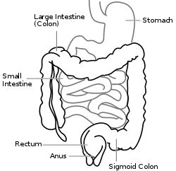 Intestine-diagram.svg