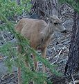 Inyo Crater Lakes - Mule Deer nearby.JPG