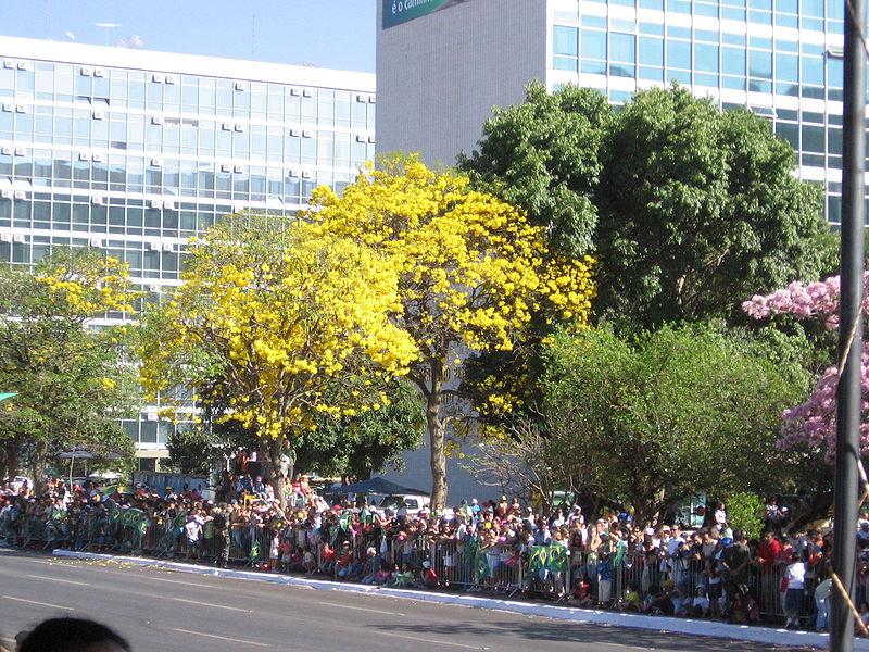 Ficheiro:Ipe Amarelo Brasilia Parada 07 set 2007.jpg