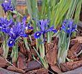 Iris reticulata Harmony 1 Palmengarten Frankfurt (Main).jpg
