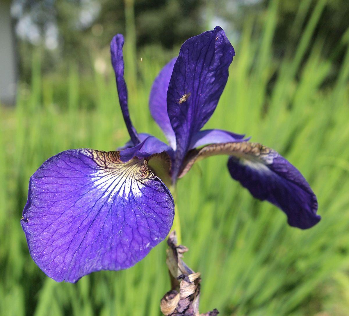 Iris Ser Tripetalae Wikipedia
