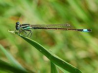 Ischunura elegans Luc Viatour.JPG