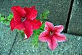 JKCarl Petunia auf Beton 800.jpg