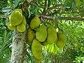 Jackfruit Bangladesh (3).JPG