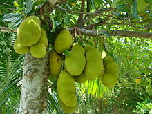 Photo of Jackfruit on a tree in Bangladesh