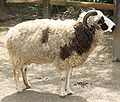 Jacobs Sheep 0596.jpg